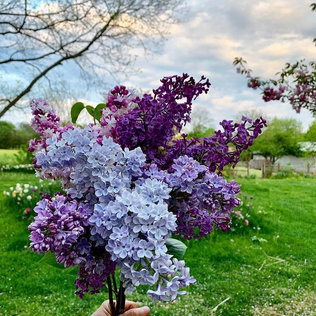 7 Things To Know About Lilac Bushes Lilac Bushes Lilac Tree Lilac Flowers