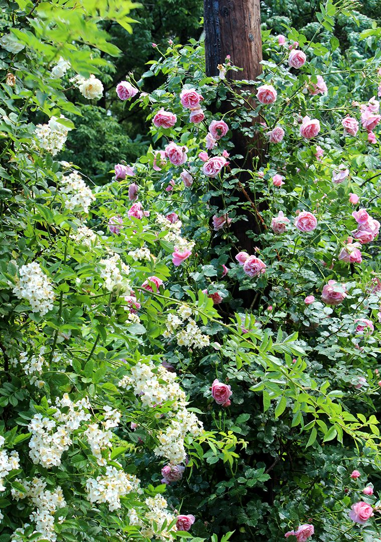 coppicegarden in early summer rose delia and tear pearl
