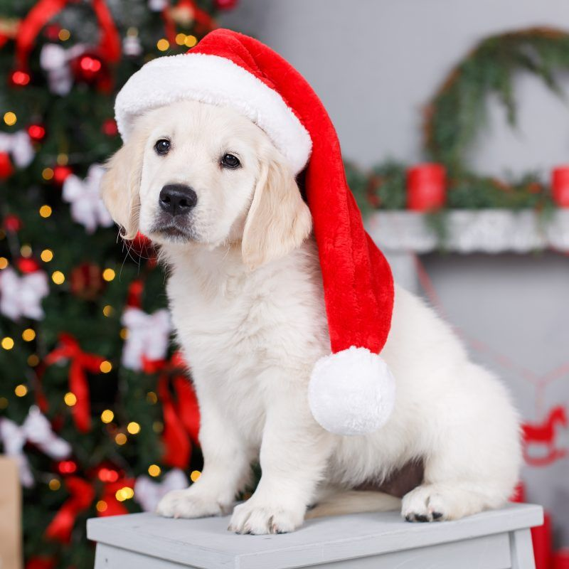 Merry Christmas Golden Retriever Puppy With Images Pejskove