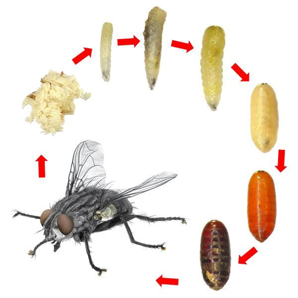 characteristics of the housefly Diptera: flies and mosquitoes characteristics this is one of the largest insect orders in the world and includes many familiar insects such as mosquitoes, midges, sand flies, house flies and blowflies.