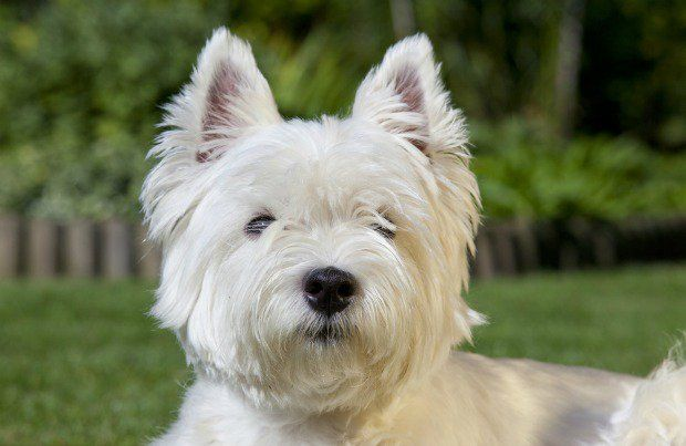 West Highland White Terrier Breed History Information And Pictures Pet360 Pet Parenting Simplified Westie Dogs Westies West Highland White Terrier