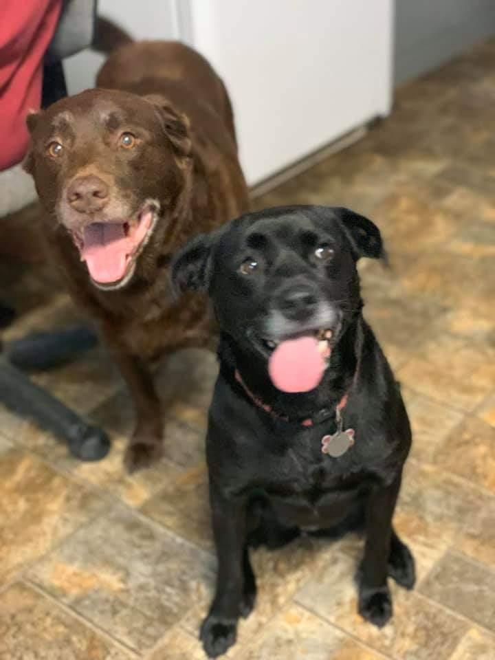 Adopt Jackson on Labrador retriever, Chocolate labrador