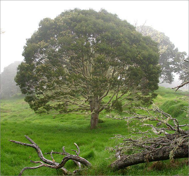 Koa Tree Hawaiian Plants Koa Hawaii