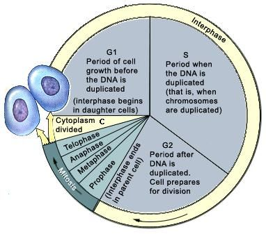 cell cycle | Biology (EOC prep) | Pinterest | Cycling, Study notes ...