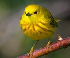 Little Yellow Bird >> A Cute Little Yellow Bird Mellow Yellow Birds Love Birds