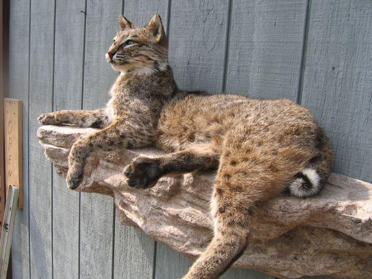 Cool Bobcat Mounts
