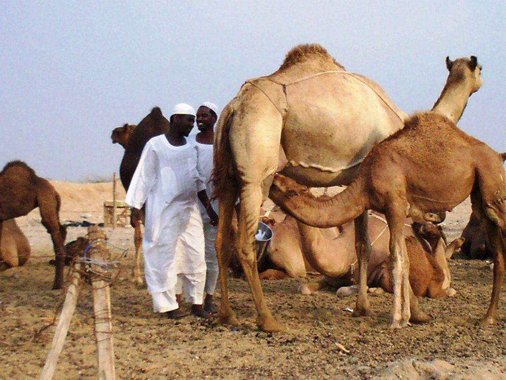 camel_breastfeeding
