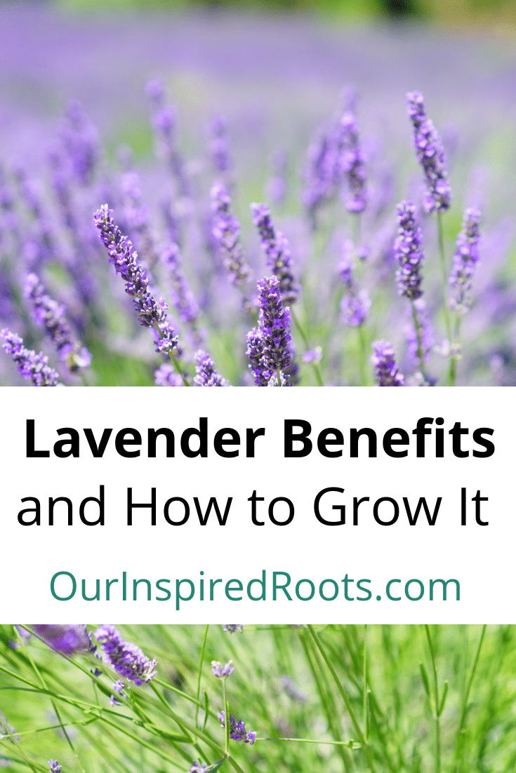 Lavender Benefits And How To Grow It Lavender Benefits Herbs