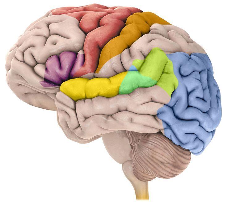 Understanding a Big Stroke in the Cerebral Cortex