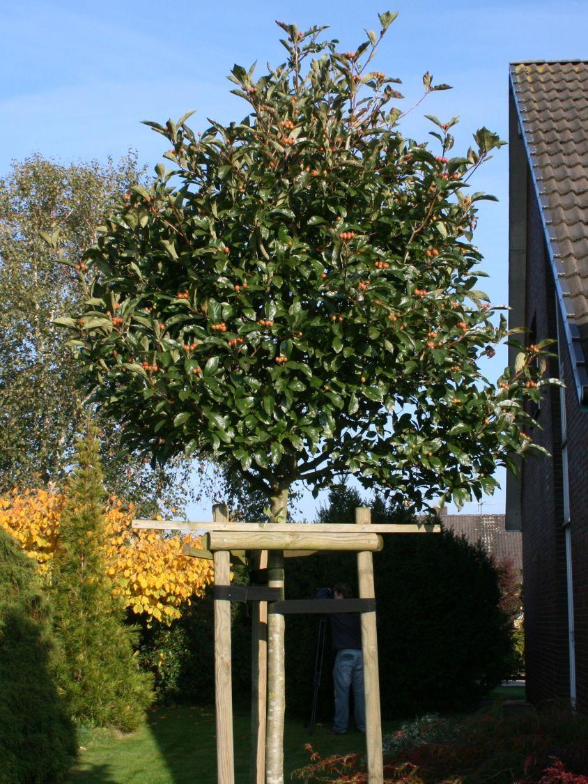 apfeldorn 39 carrierei 39 crataegus lavallei 39 carrierei 39 zernsdorf pflanzen pinterest. Black Bedroom Furniture Sets. Home Design Ideas