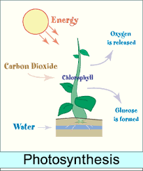 Diagram on plants getting energy from the sun google search diagram on plants getting energy from the sun google search ccuart Choice Image
