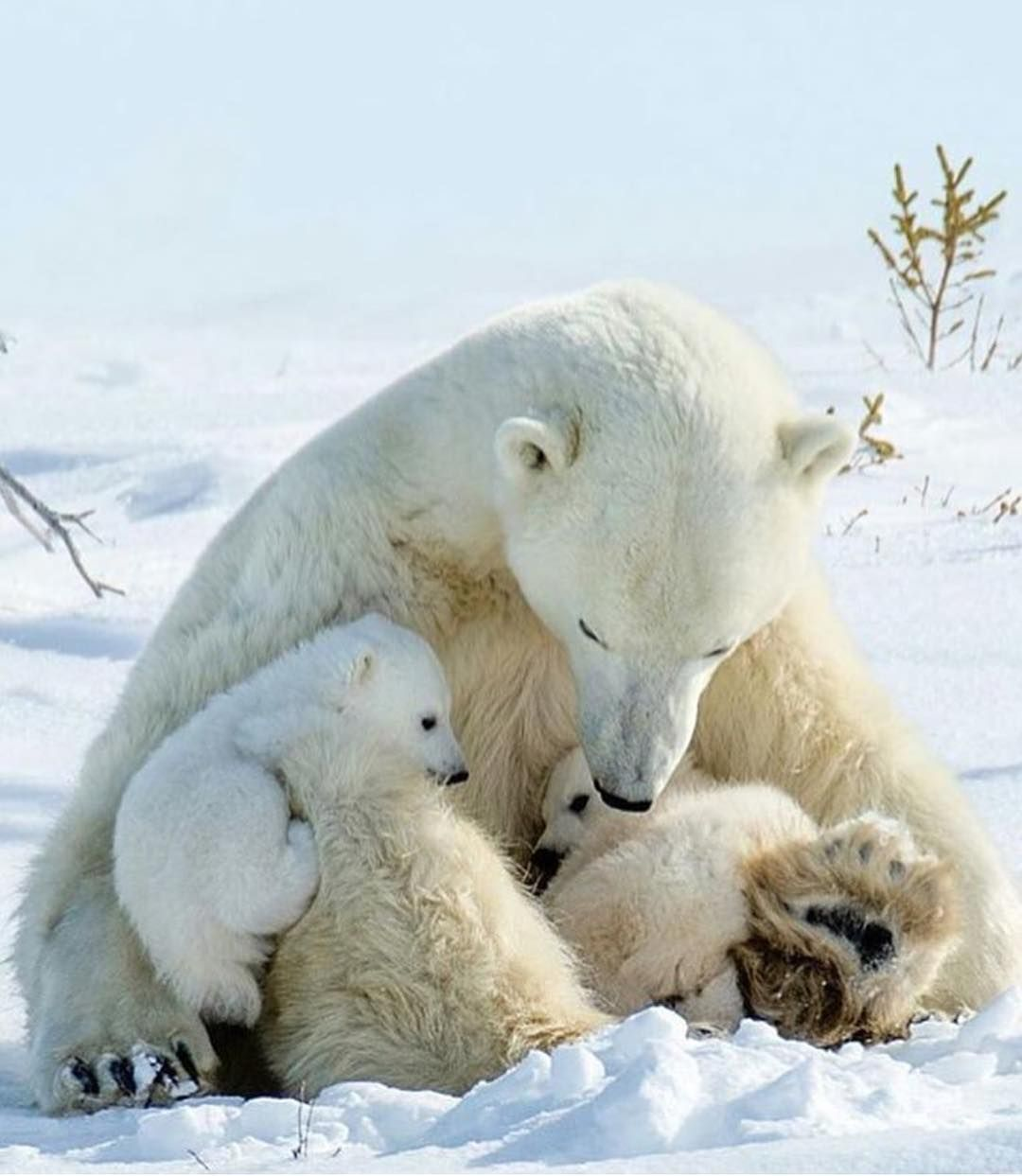Mama & Her Cubs Photo By @judithconning Tag