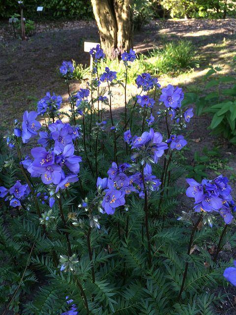 Polemonium `Bressingham Purple`