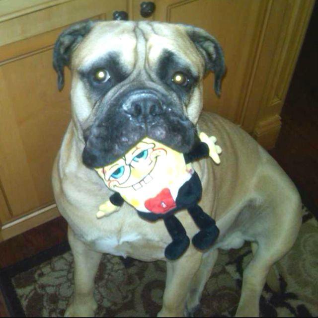 Rocco loves spongebob
