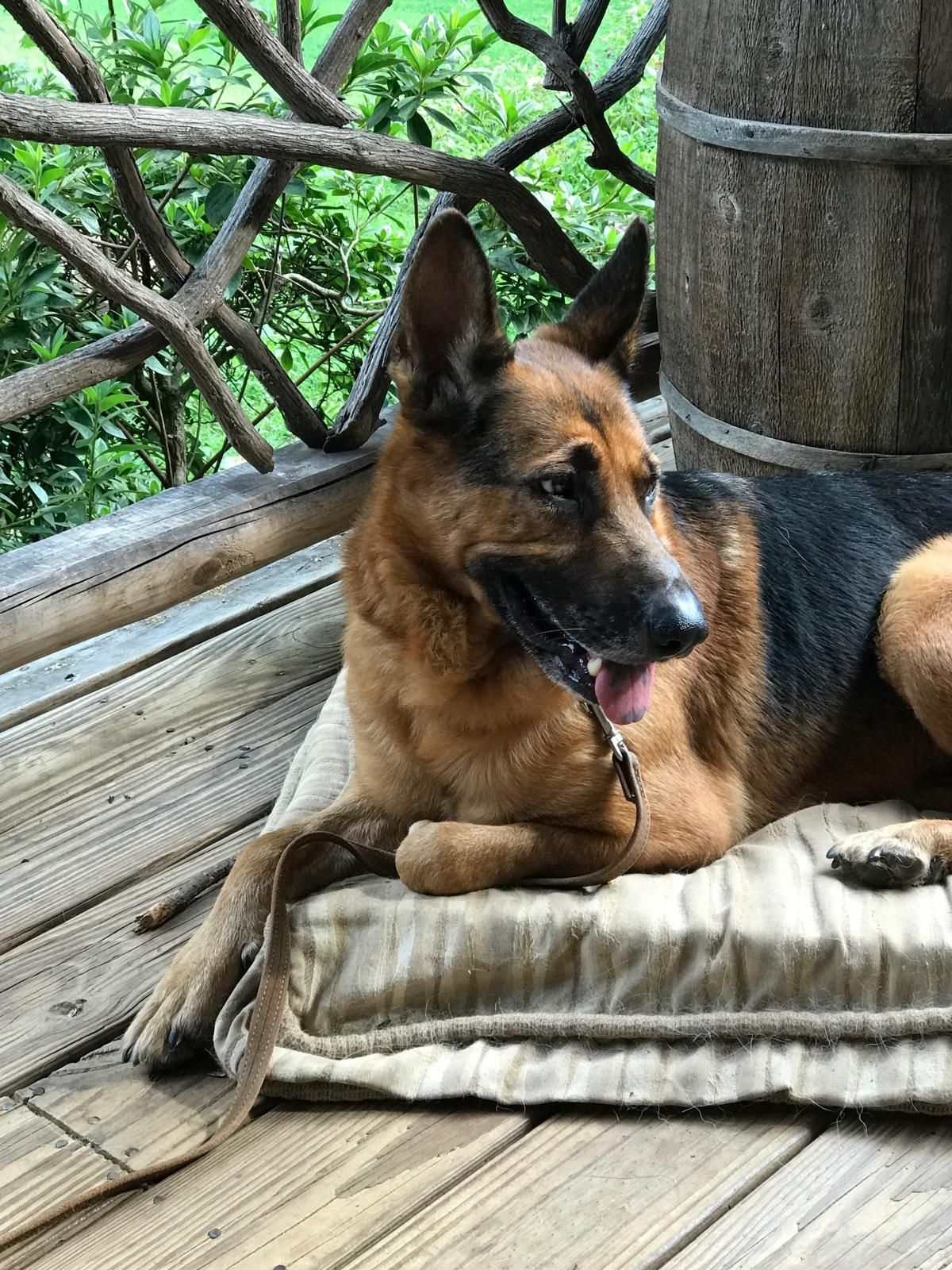 German Shepherd Dog dog for Adoption in Ellijay, GA. ADN