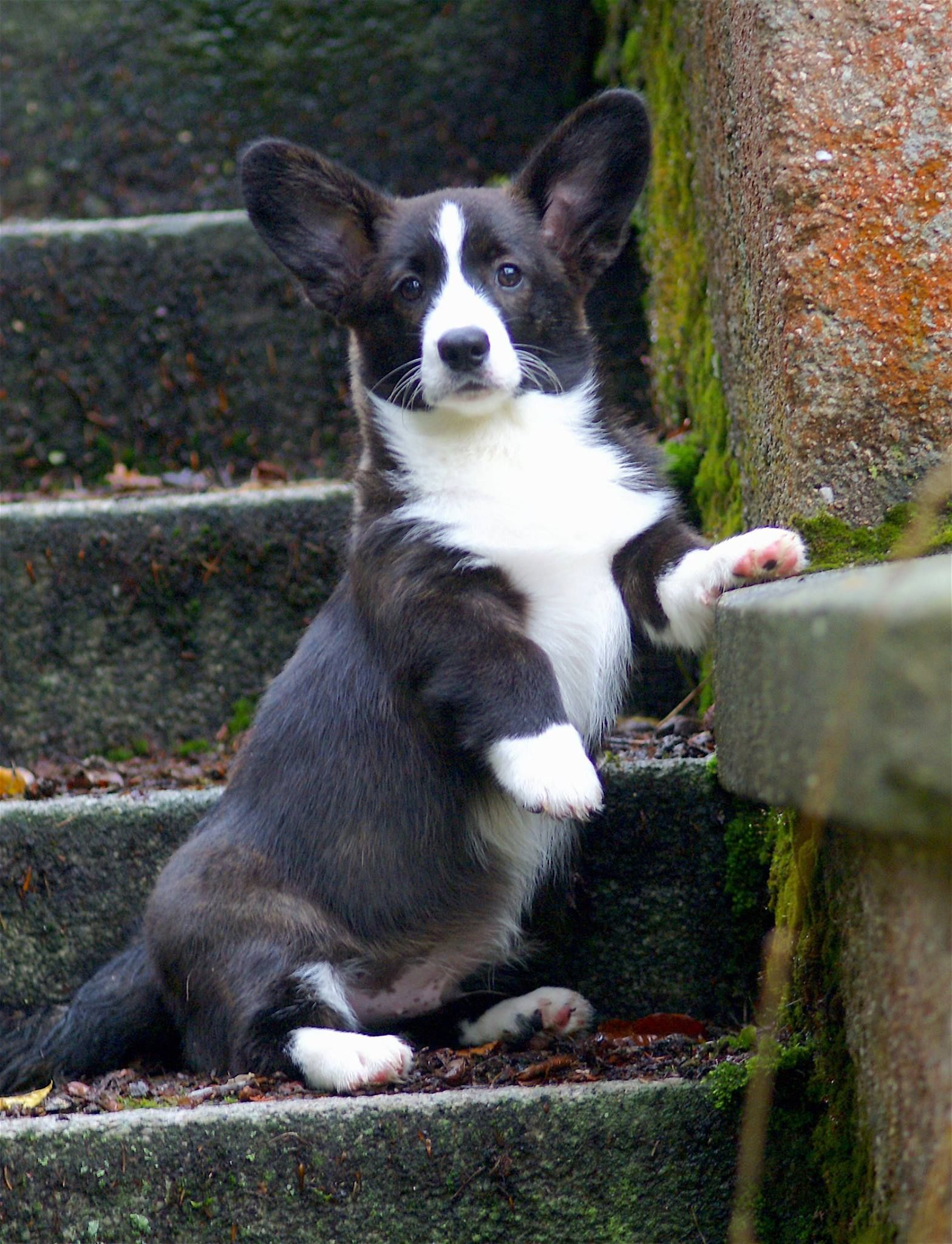 Migawki Z Zycia Szczeniaczkow In 2020 Corgi Corgi Dog Cute Animals