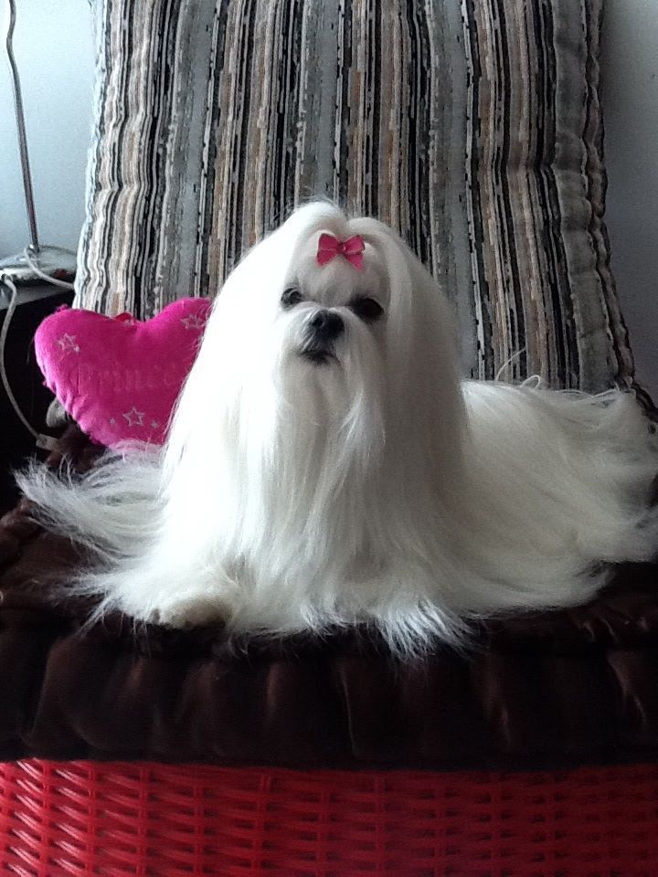 Athena What A Beautiful Maltese Looks Like My Starbaby Maltese Dogs Care Maltese Dogs