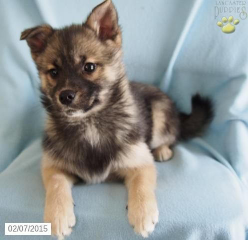 Pomsky Puppy for Sale in Ohio http//www.buckeyepuppies