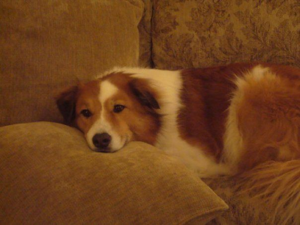 My Buddy Collie St Bernard Mix He S A Sweetie And So Smart
