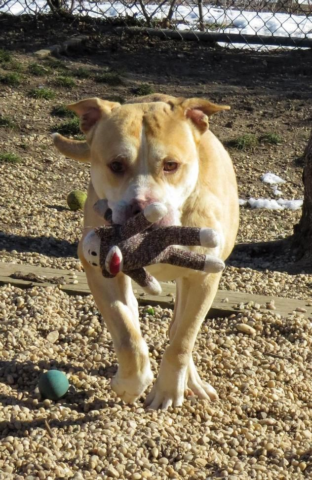 Adopt 17 71 Loki On Adult Dog Training Dog Adoption Pitbull Dog
