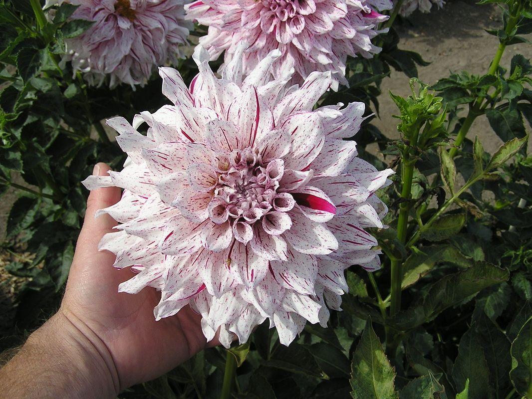 Dahlia List Dahlia Dahlias Garden Flowers