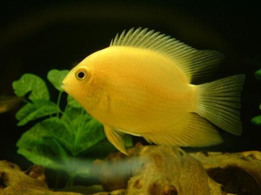 yellow cichlid fish - photo #10