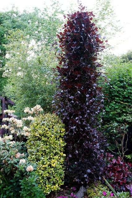 Fagus sylvatica beech 39 dawyck purple 39 beech tree gardens and shrub - Upright trees for small spaces concept ...