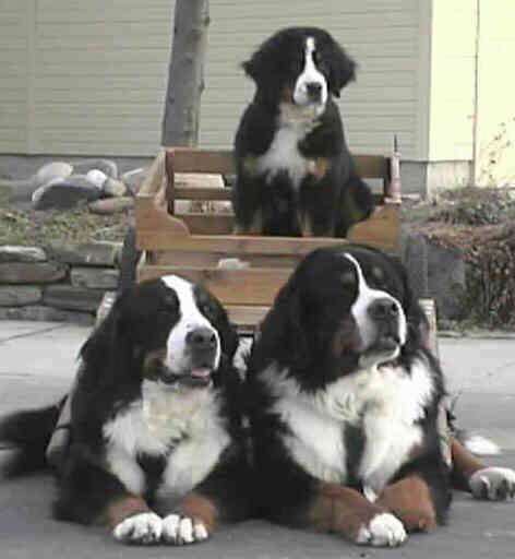 Bernefie Puppies For Sale Newfoundland Cross Bernese Mountain