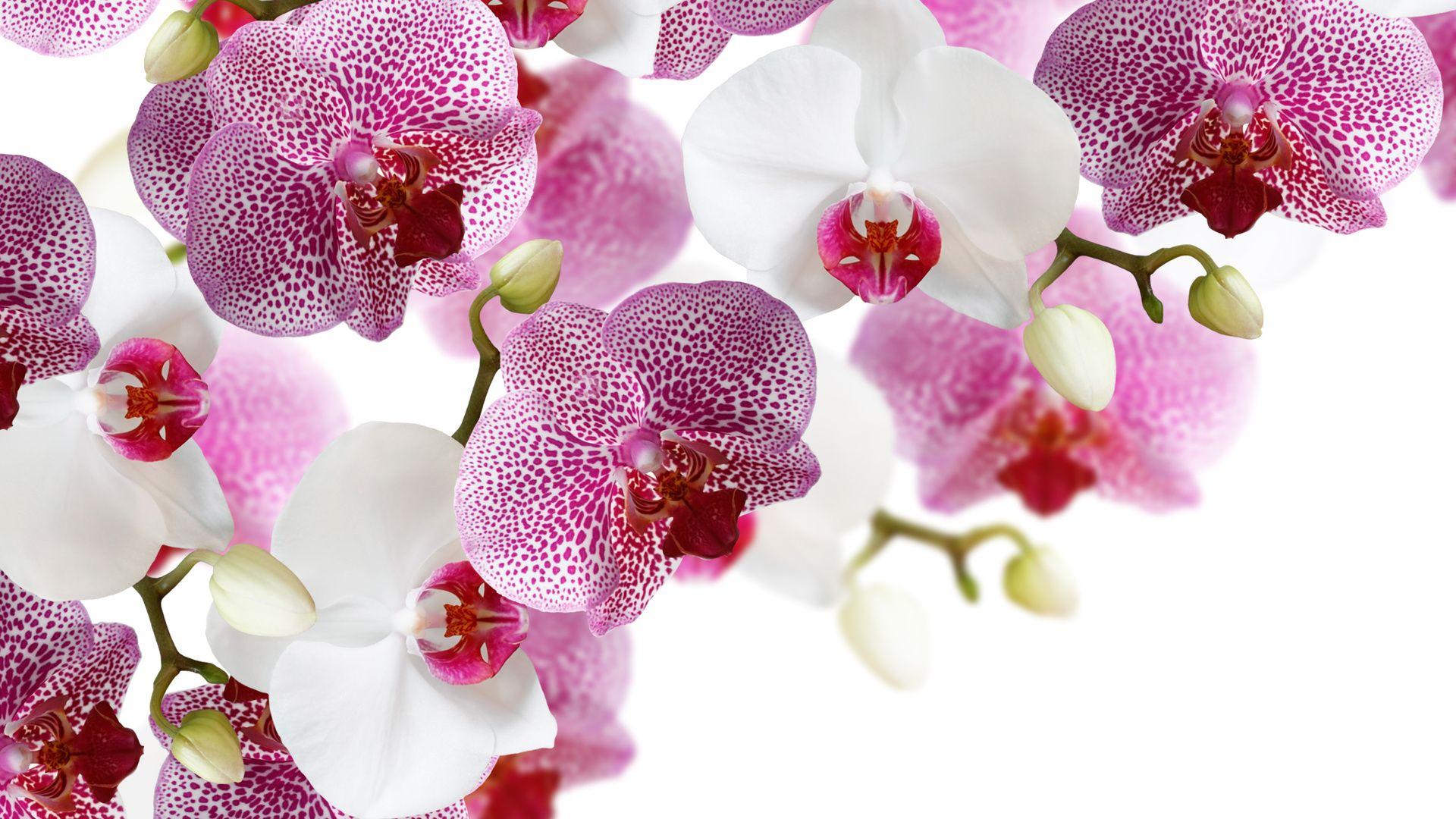 Резултат со слика за photoos of орхидеи
