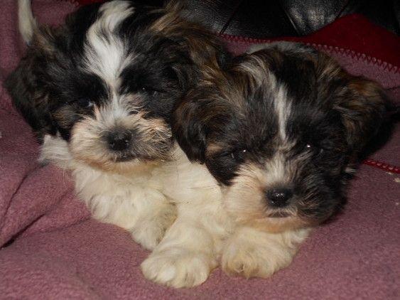 Shih Tzu For Adoption Colorado For Sale Dogs Shih Tzus Shih Tzu