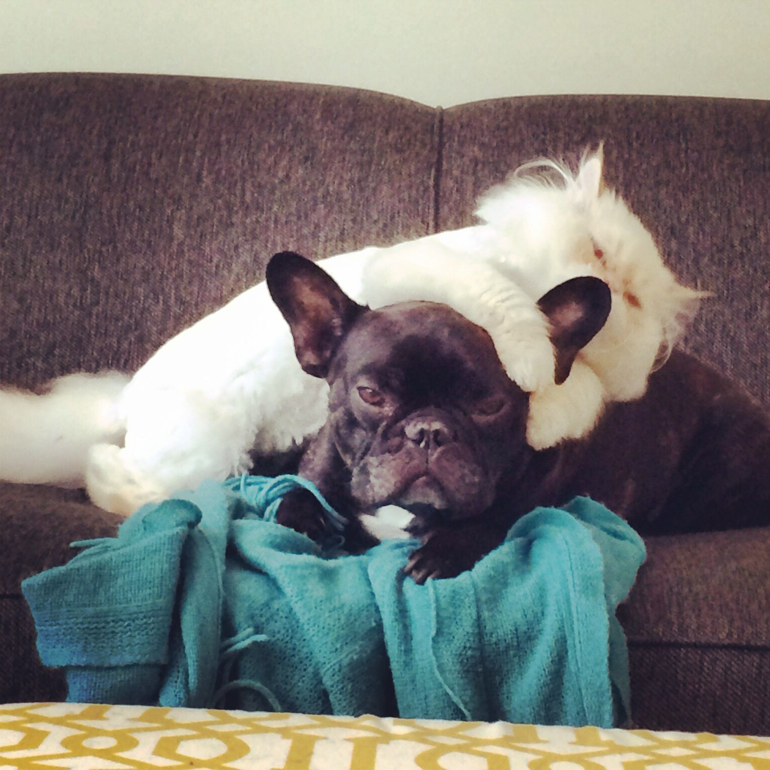 French Bulldog And White Persian Tater And Wilson French