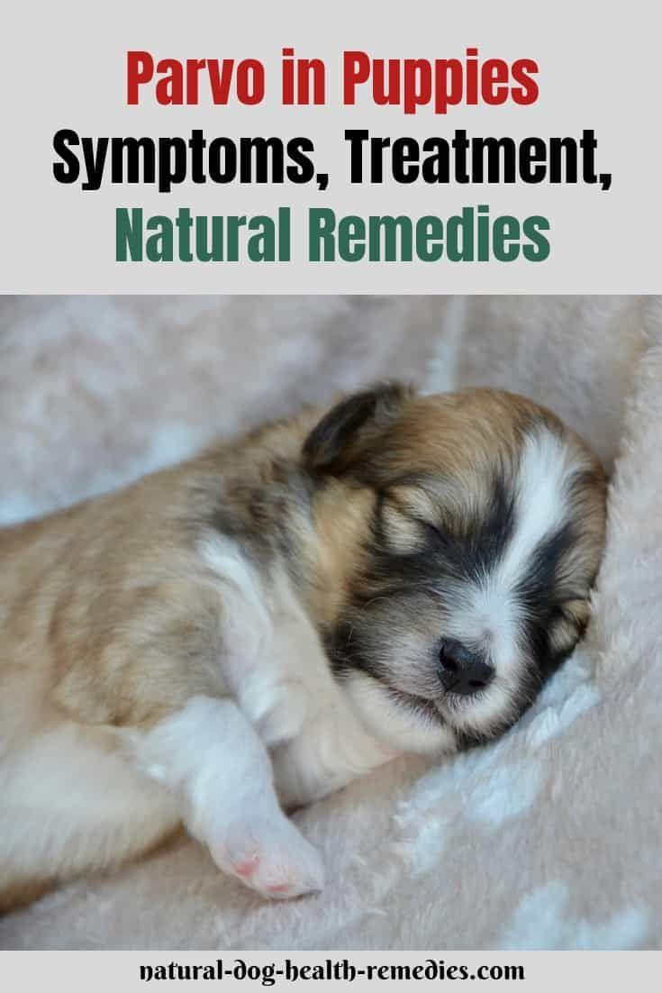 Parvo in Puppies Symptoms, Treatment & Prevention Parvo