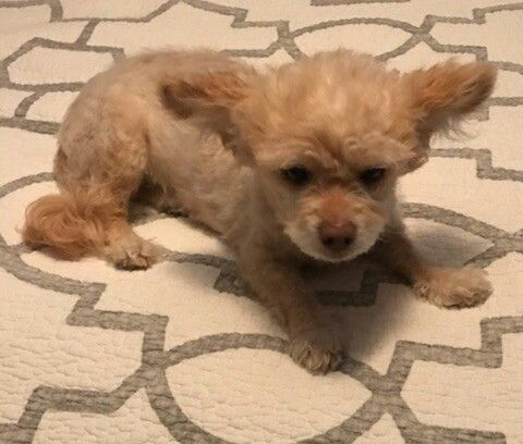 Adopt Pinky Lee On Dogs In Need Of Homes Dogs Poodle Rescue