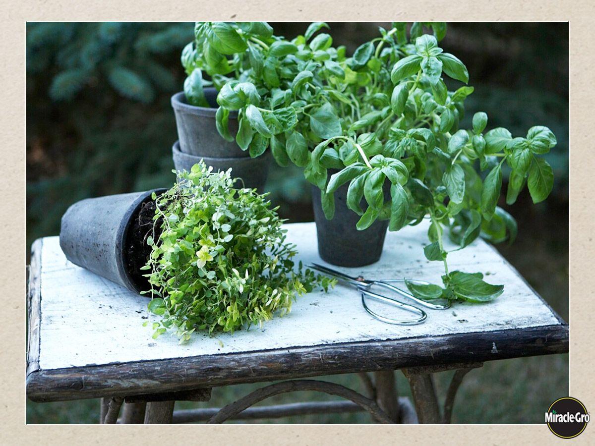 growing herbs u0026 herb garden care herbs garden vegetable garden
