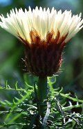 Fotos :: www.carlos.viviani.cl - Flores de especies nativas del Norte de Chile.