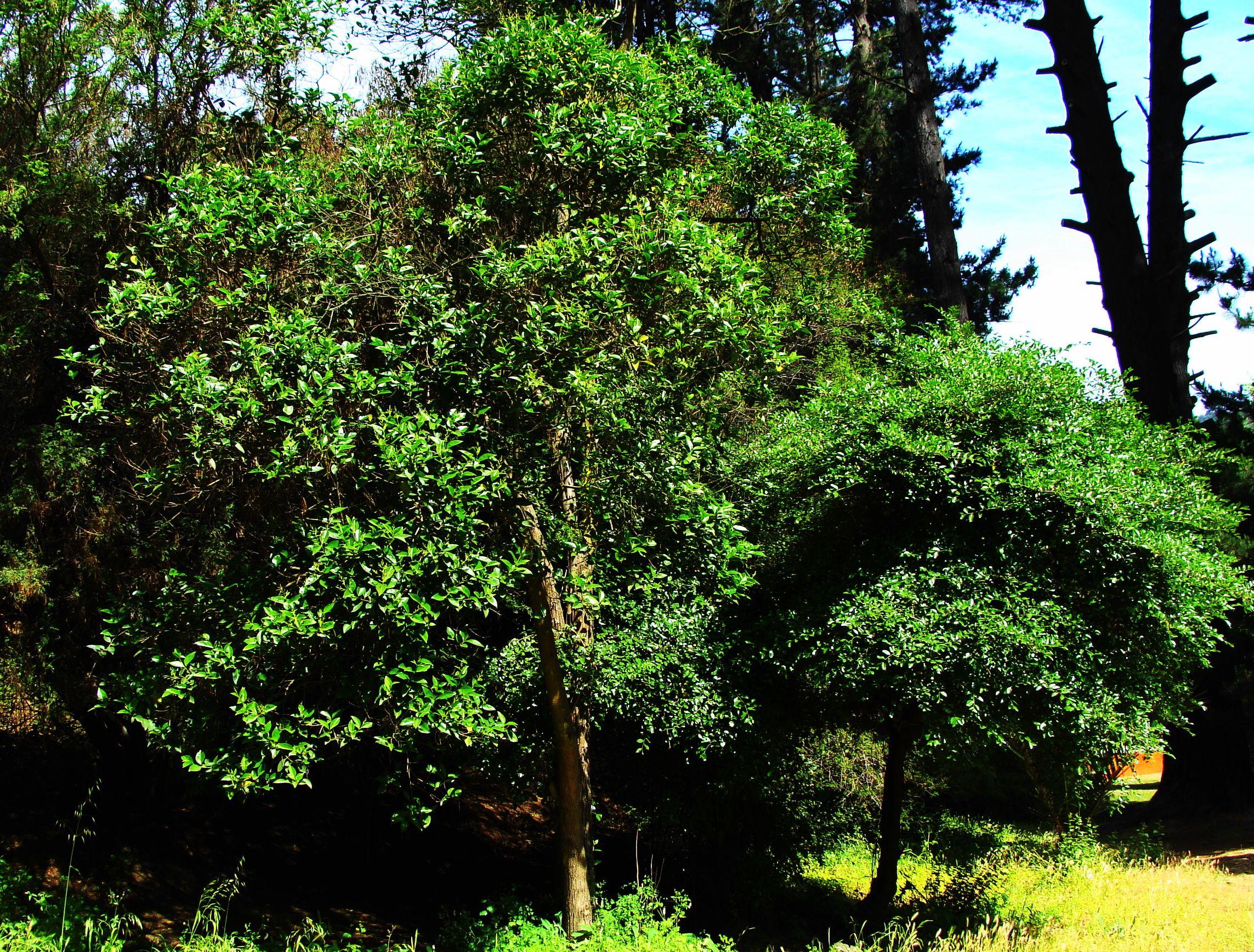 Corcolen o lilen azara celastrina arbustos y arboles for Jardines con arboles y arbustos