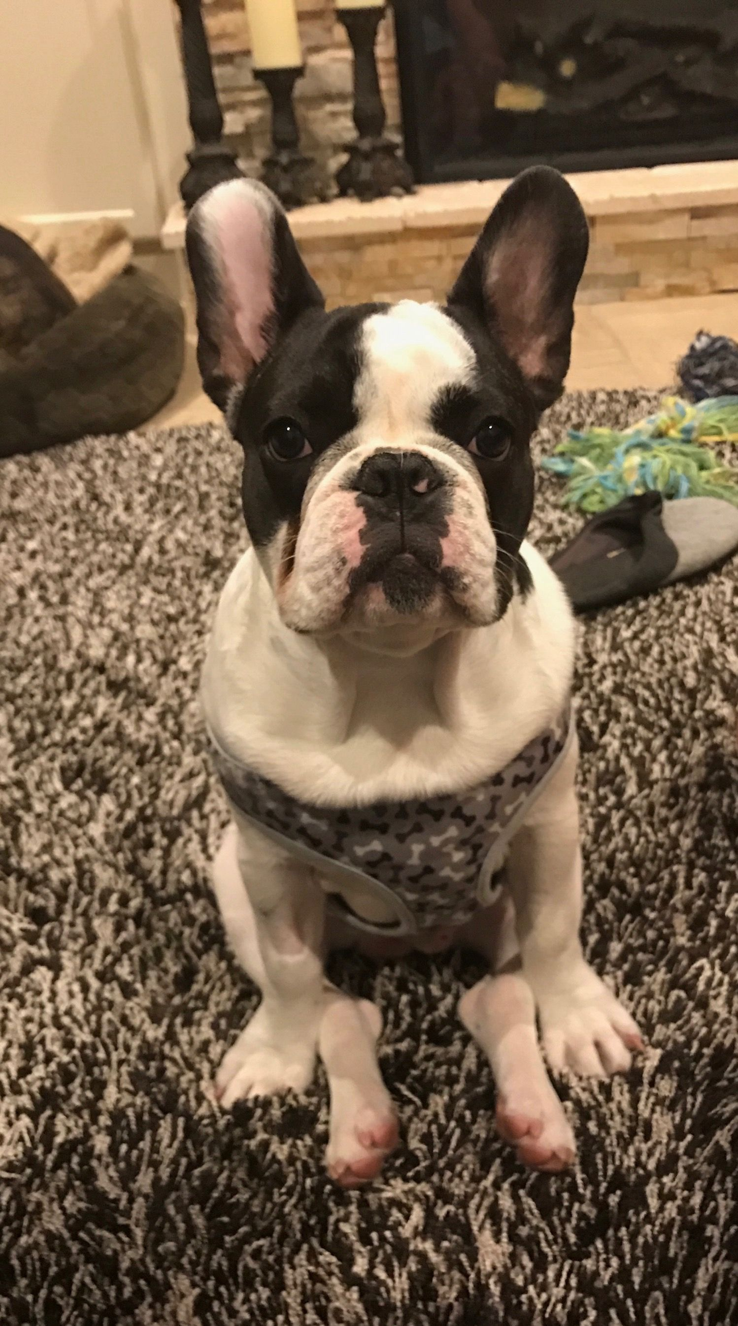 French Bulldog French Bulldog Bulldog Boston Terrier