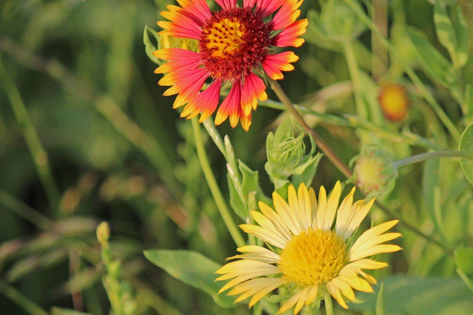 Indian Paintbrush Wildflower Rare Yellow Indian Blanket Flower