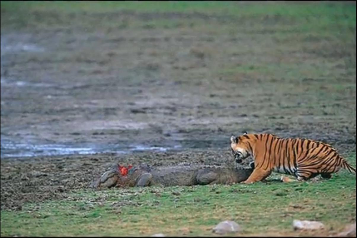 Crocodile attacks shark | vs nile crocodile jaguar vs caiman tiger vs mugger crocodile