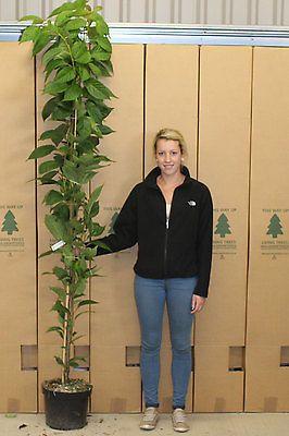 Prunus Amanogawa Japanese Flowering Cherry Flag Pole Cherry Tree Sold At 6 7 Japanese Flowering Cherry Cherry Tree Deciduous Trees