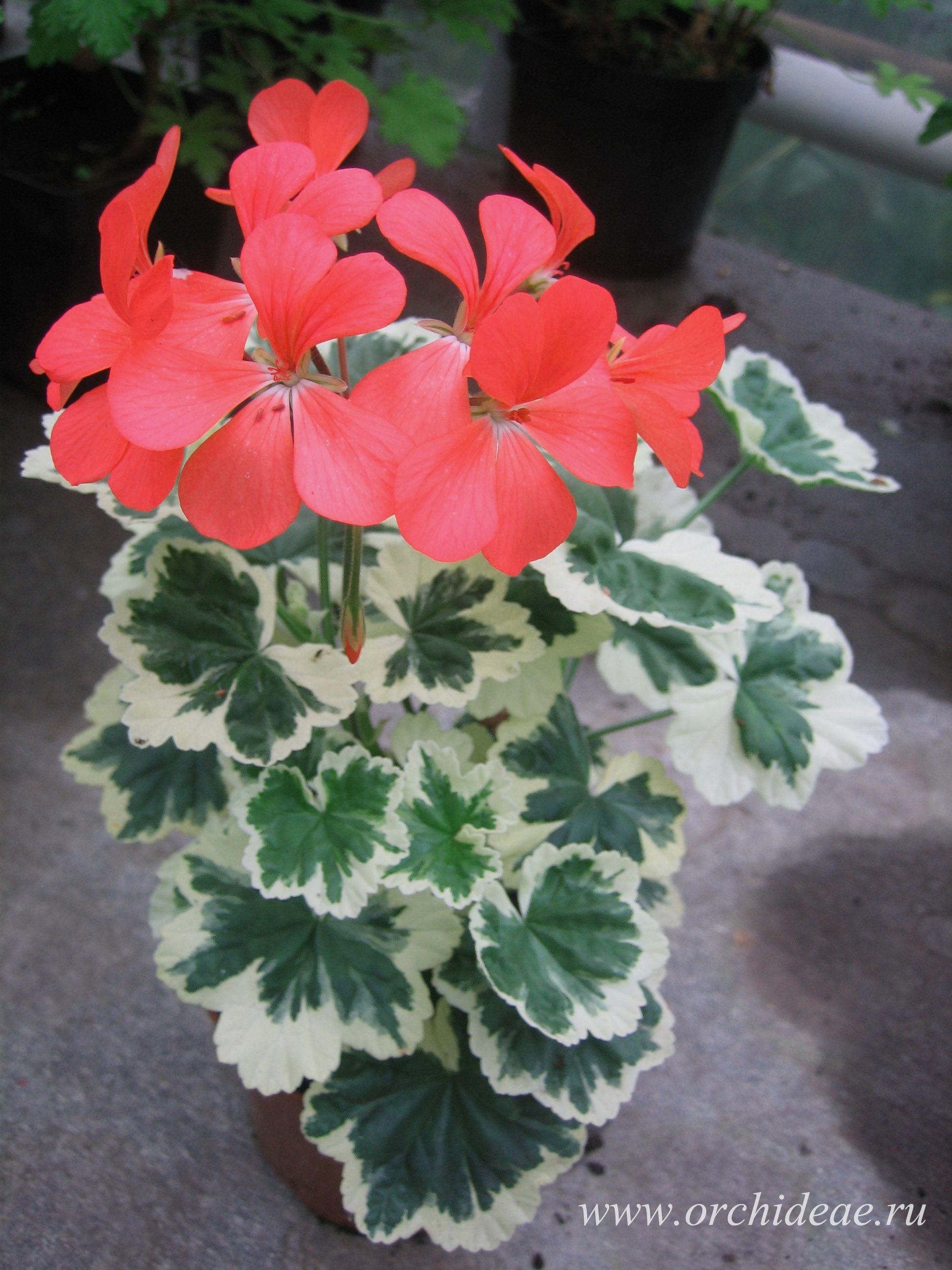 объявлений свежие герань с красными листьями фото и название фотографиях