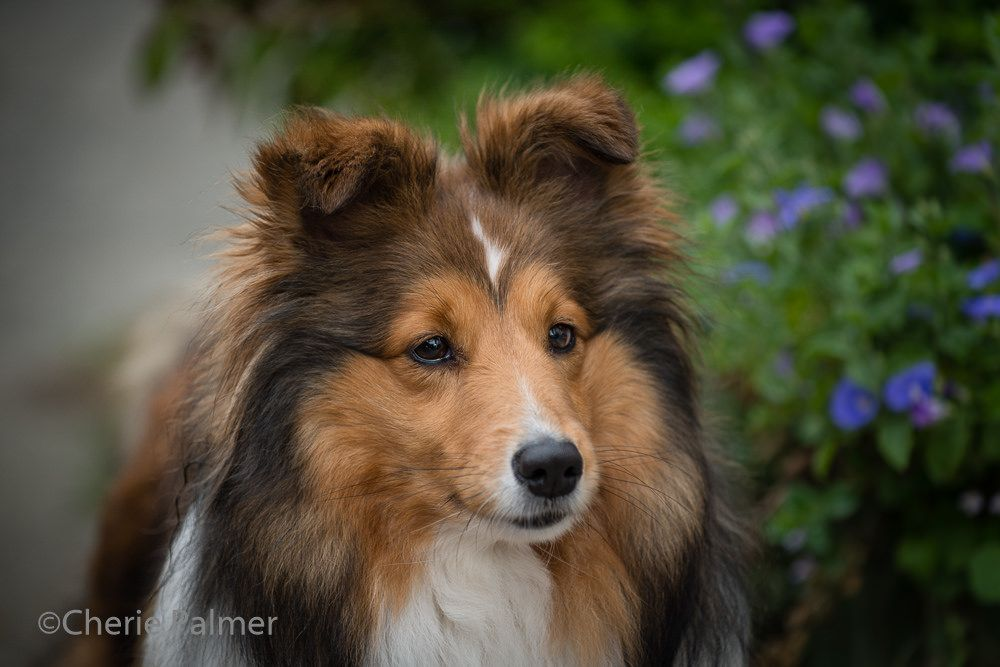 https://flic.kr/p/PZtbAZ | Shetland Sheepdog (sheltie)