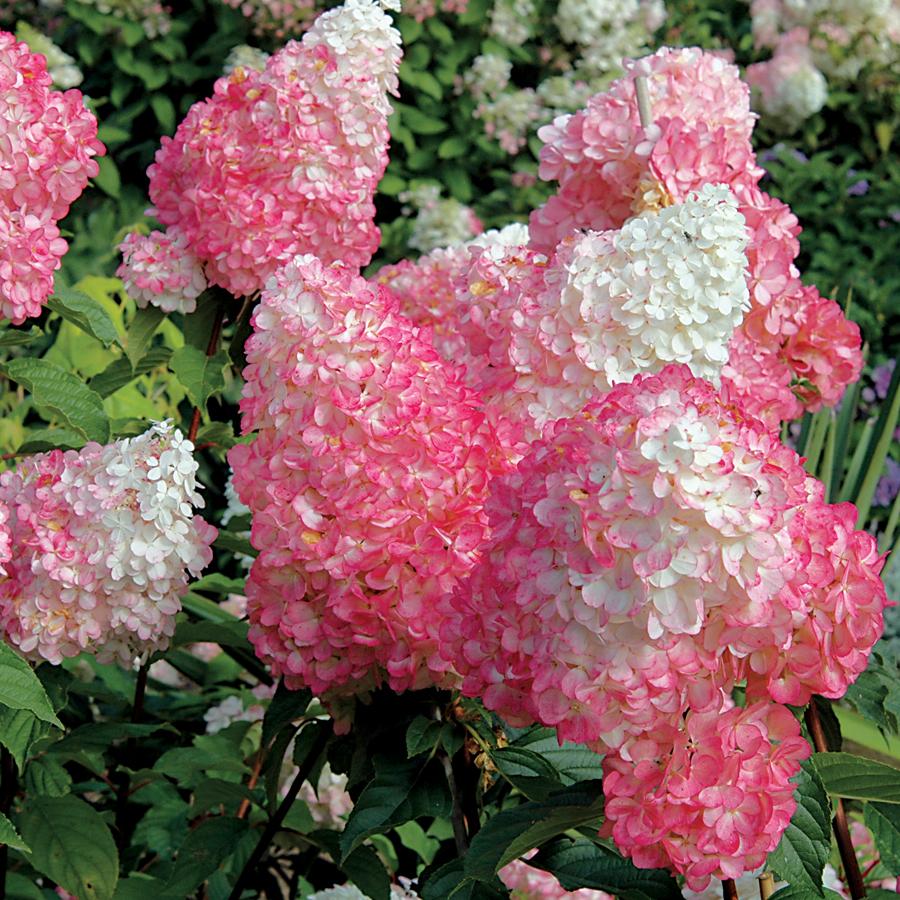 Hydrangea Vanilla Strawberry White Flower Farm Hydrangea Paniculata Strawberry Hydrangea
