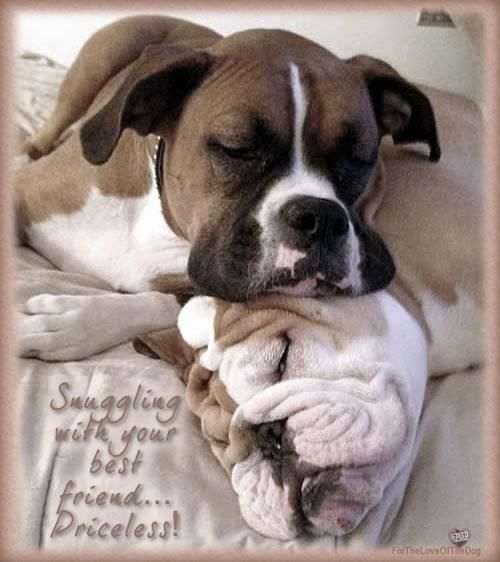 Look It Is A Boxer And Bulldog Tonka And Beefy Chillin In Heaven I Knew Theyd Find Each Other Funny Bulldog Pictures Bulldog Funny Funny Dog Pictures