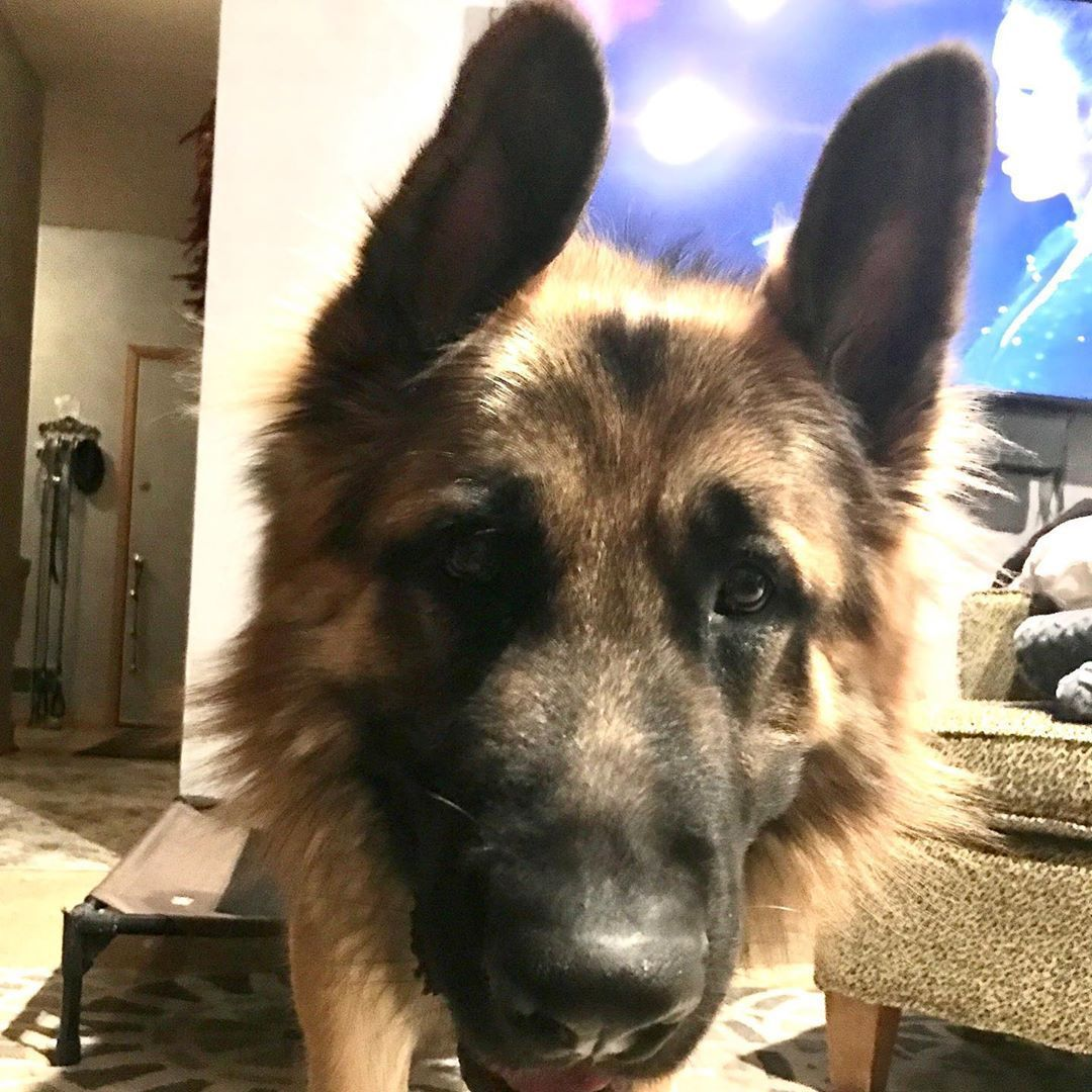 You Guide To New Puppy Care And General Puppy Health And Maintenance Zeus Says Dude Youre Snoring See These Ears You Puppy Health Puppy Care New Puppy
