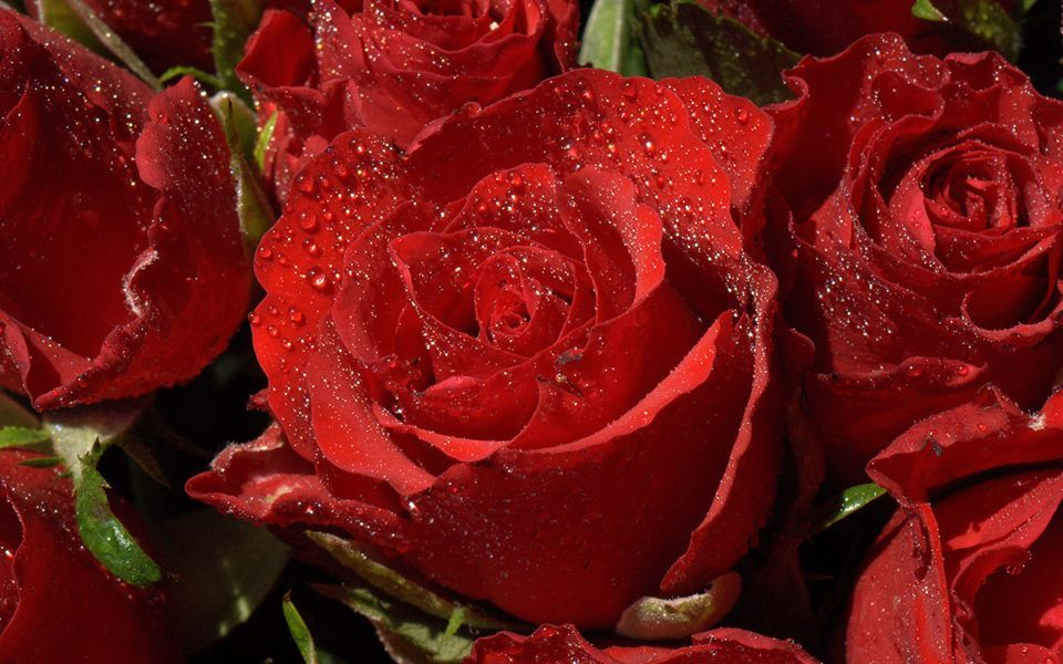 National Flowers of World Countries.. Iraq ( Red Rose