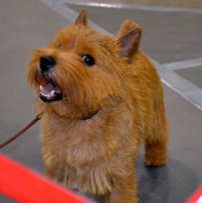 Norwich Terrier Of Nc And A Group Ii Hunter Is Currently The