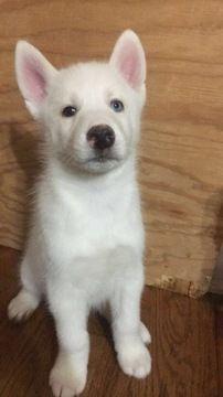 Litter Of 9 Siberian Husky Puppies For Sale In Joplin Mo Adn
