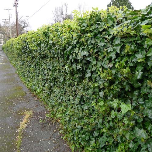 english ivy on chain link fence green ivy is completely covering a standard chain link metal. Black Bedroom Furniture Sets. Home Design Ideas