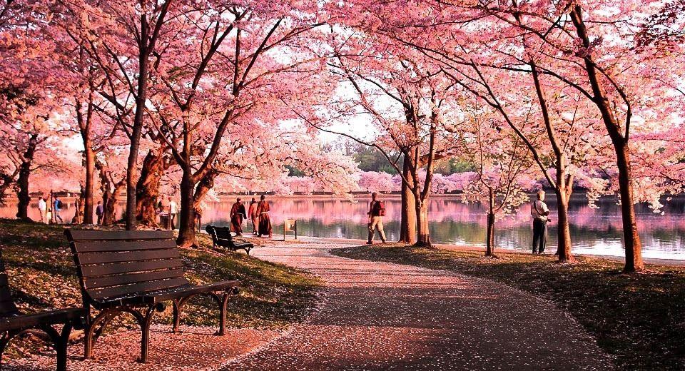 Okame Cherry Blossom Tree Blossom Trees Cherry Blossom Festival Cherry Blossom Tree